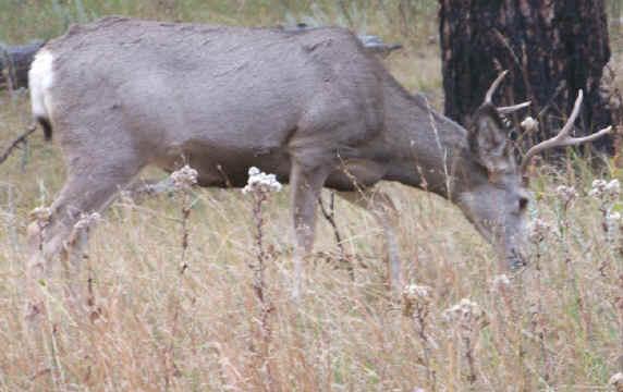 Deer sex mule